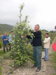 La taille de l'arbre truffier