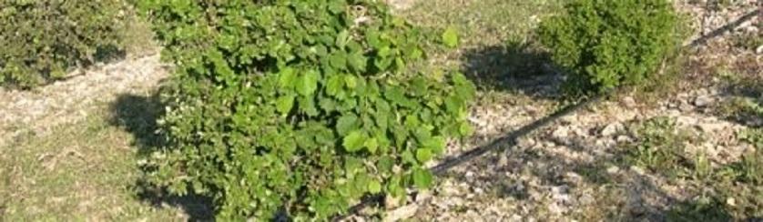 Irrigation, sans eau pas de truffes